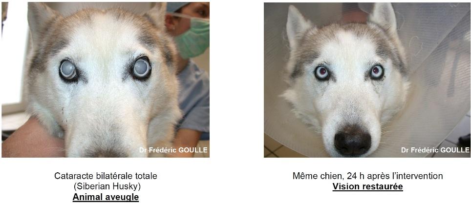 La Chirurgie De La Cataracte Chez Le Chien Aquivet Clinique