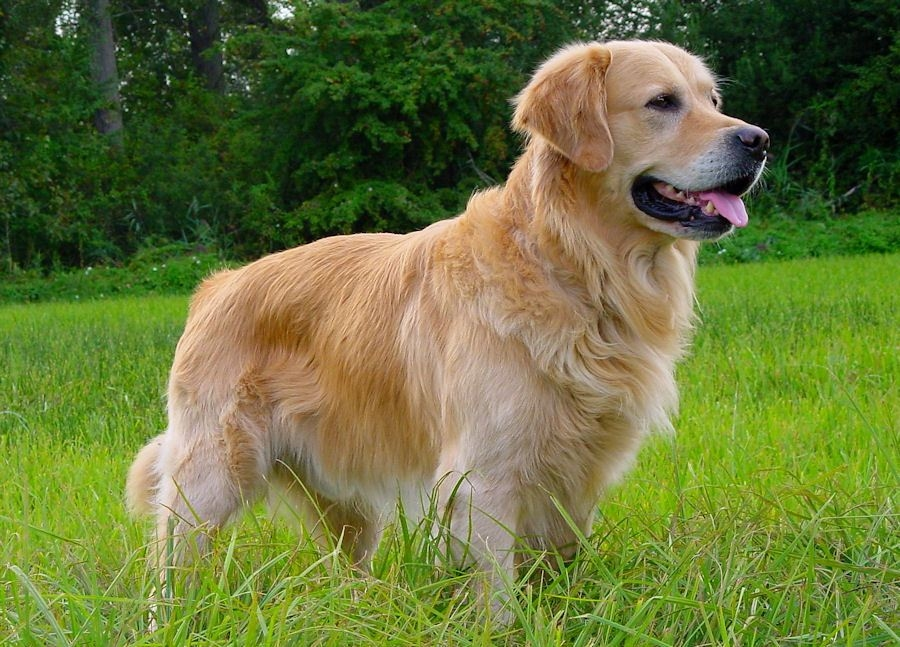 Le Golden Retriever  Fiche Sant&233 Aquivet Clinique